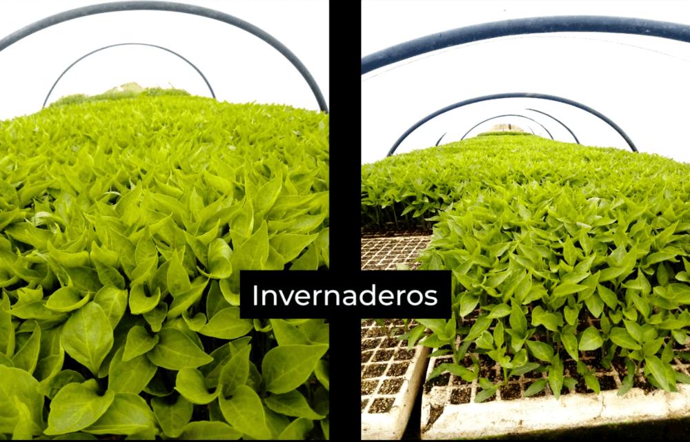 Cómo se hace el pimentón de La Vera: invernaderos de pimientos