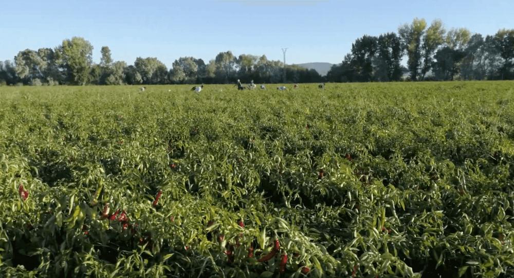 Cómo se hace el pimentón de La Vera: cosecha de pimentón